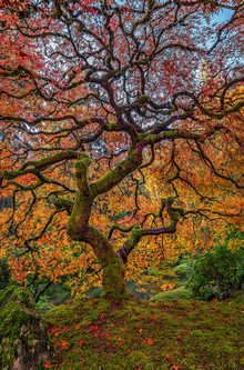 Laceleaf Peacock