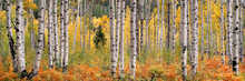 Rusty Ferns and Autumn Aspens